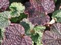 Rubus calycinoides