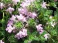Thymus 'Bressingham'Pink'