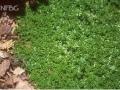 Thymus praecox (serpyllum) 'Album'