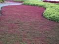 Thymus praecox 'Coccineus Red'