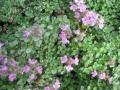 Thymus minimus