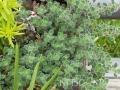 Thymus pseudolanguinosus