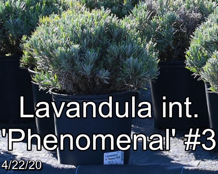 Lavandula int. Phenomenal #3