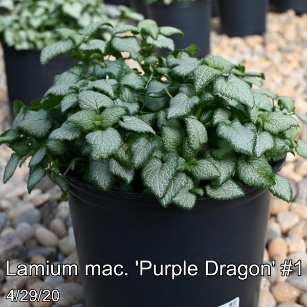 Lamium mac. Purple Dragon #1
