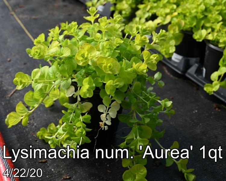 Lysimachia num. Aurea 1qt