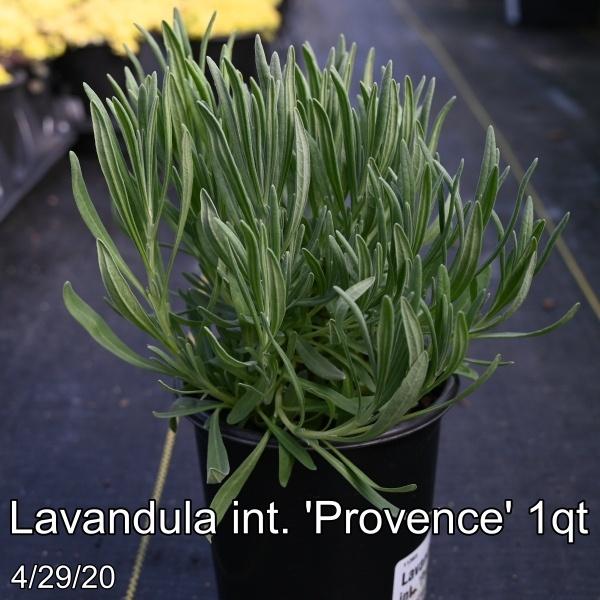 Lavandula int. Provence 1qt