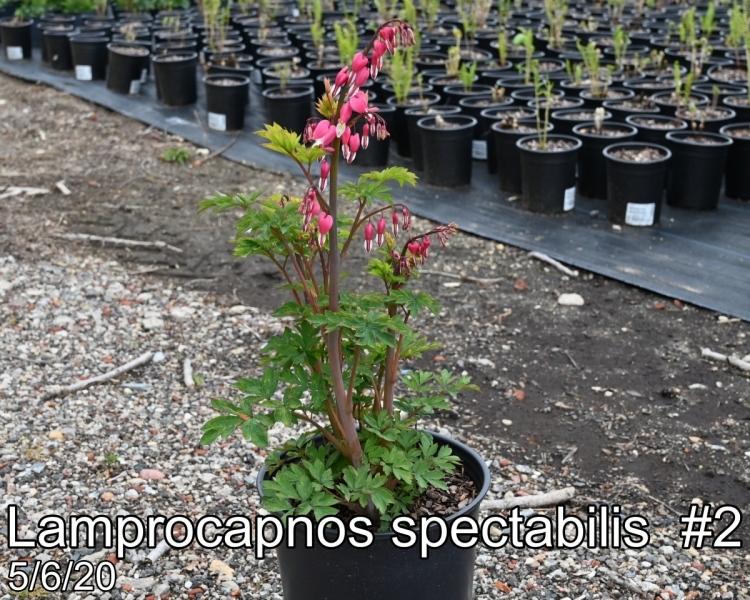 Lamprocapnos spectabilis #2