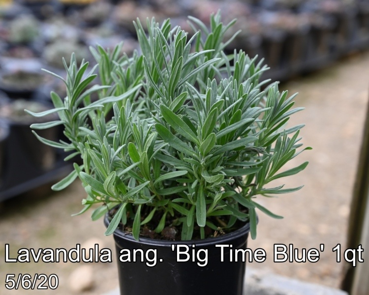 Lavandula ang. Big Time Blue 1qt