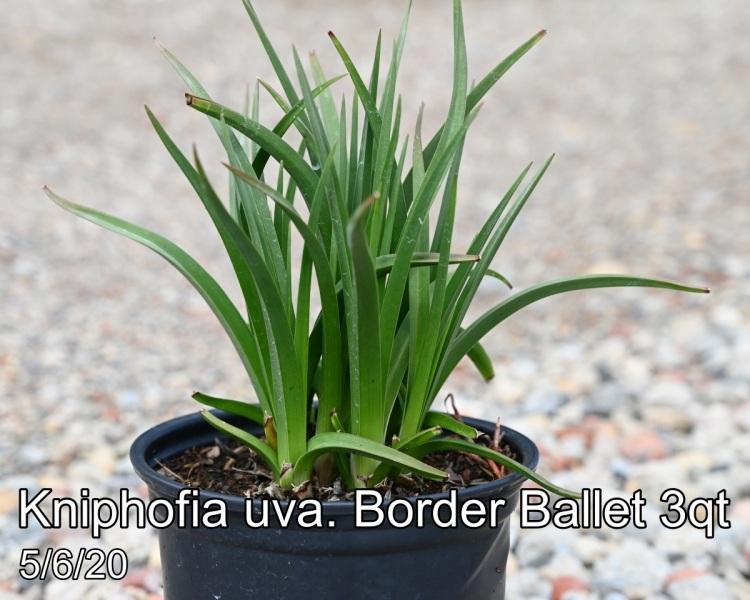 Kniphofia uva. Border Ballet 3qt