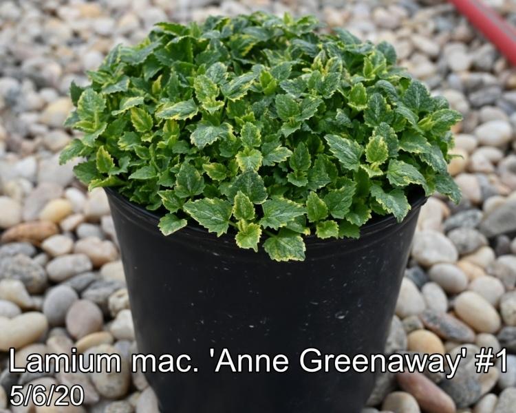 Lamium mac. Anne Greenaway #1