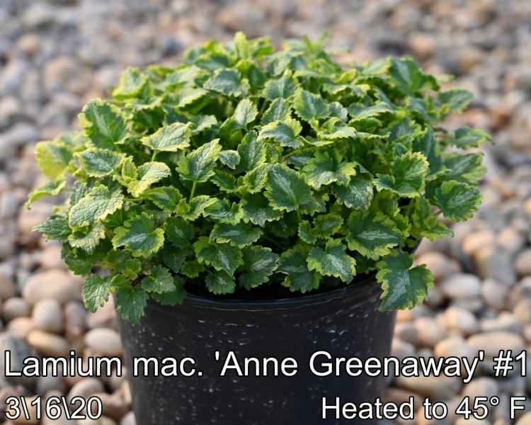 Lamium-mac.-Anne-Greenaway