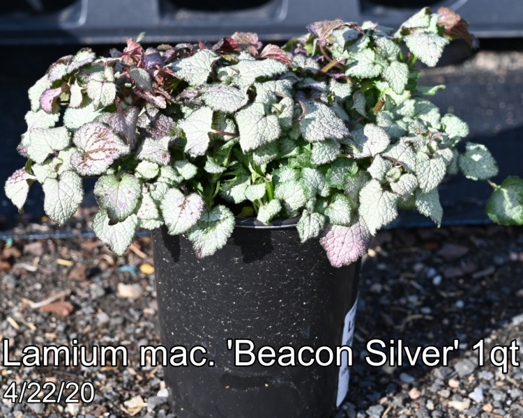 Lamium-mac.-Beacon-Silver-1qt