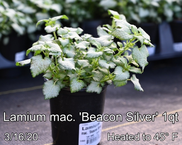 Lamium-mac.-Beacon-Silver