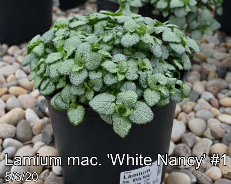 Lamium mac. White Nancy #1