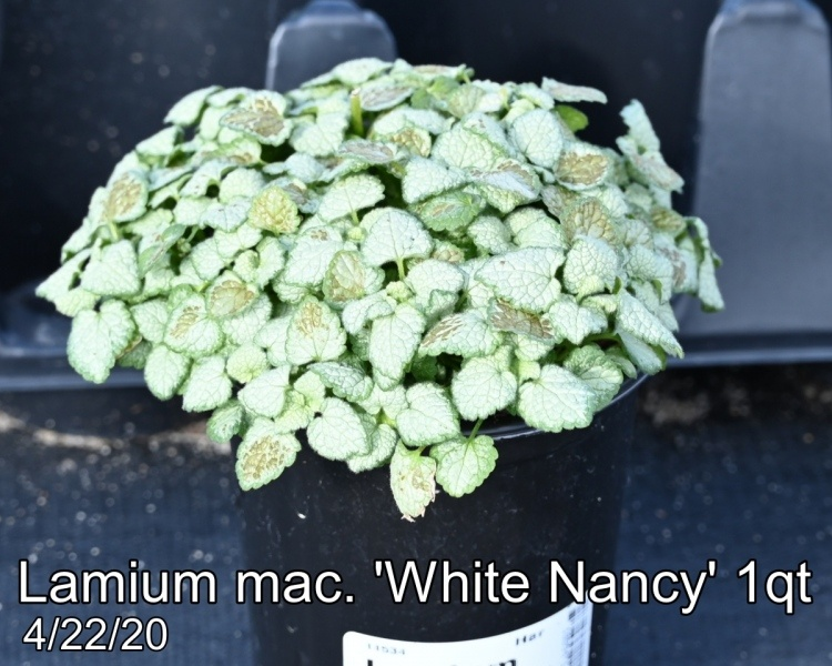 Lamium-mac.-White-Nancy-1qt