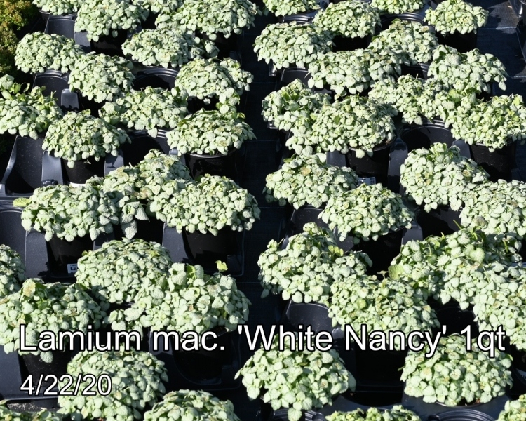 Lamium-mac.-White-Nancy-crop