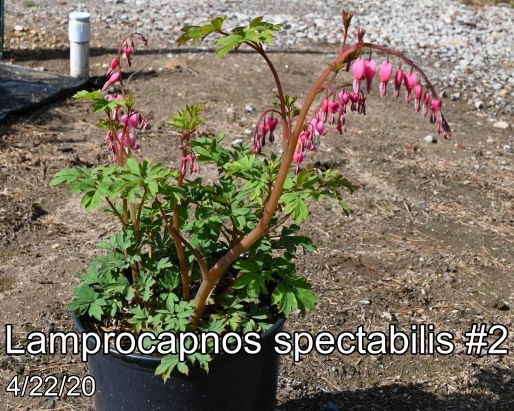 Lamprocapnos-spectabilis-2
