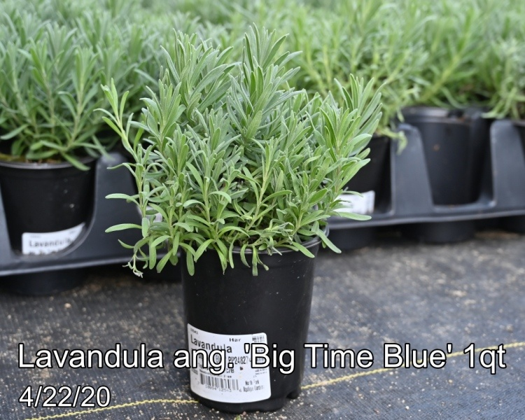 Lavandula-ang.-Big-Time-Blue-1qt