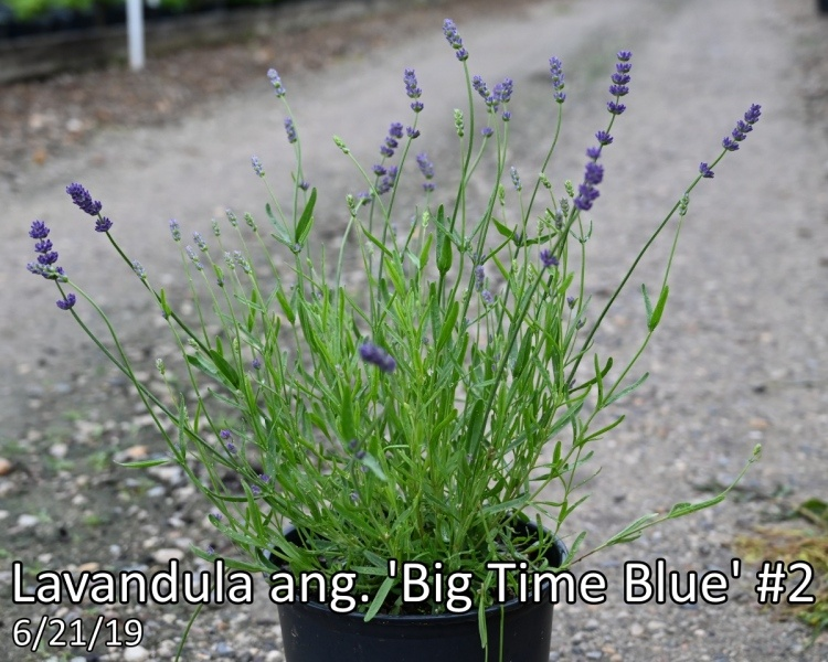 Lavandula-ang.-Big-Time-Blue