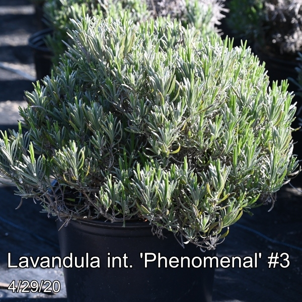 Lavandula int. Phenomenal #3