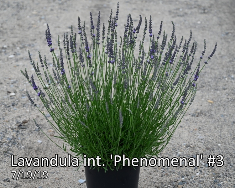 Lavandula-int.-Phenomenal