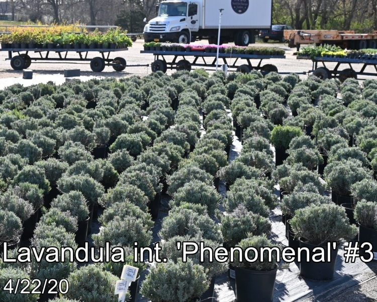 Lavandula int. Phenomenal