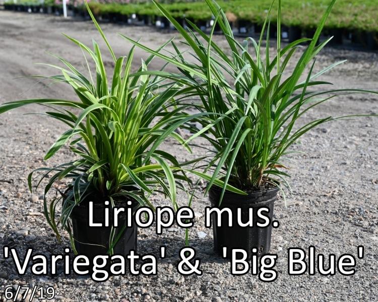 Liriope-mus.-Variegata-Big-Blue