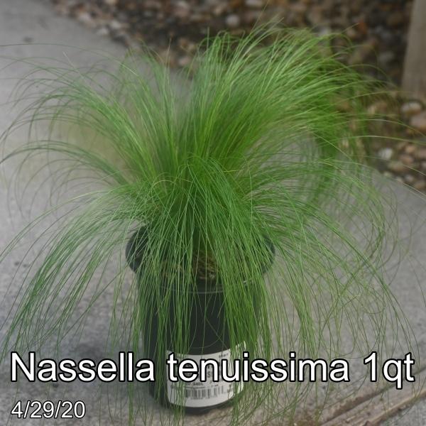 Nassella tenuissima 1qt