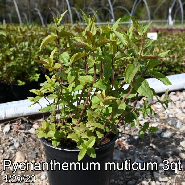 Pycnanthemum muticum 3qt
