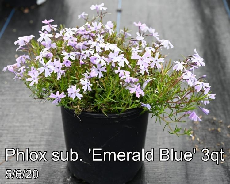 Phlox sub. Emerald Blue 3qt