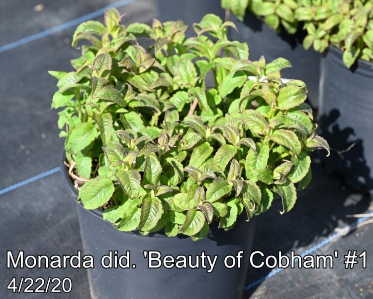 Monarda did. Beauty of Cobham #1