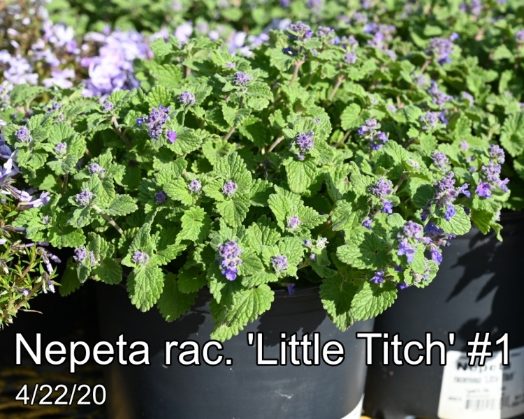 Nepeta rac. Little Titch #1