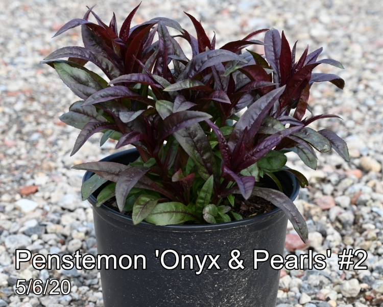 Penstemon Onyx Pearls #2