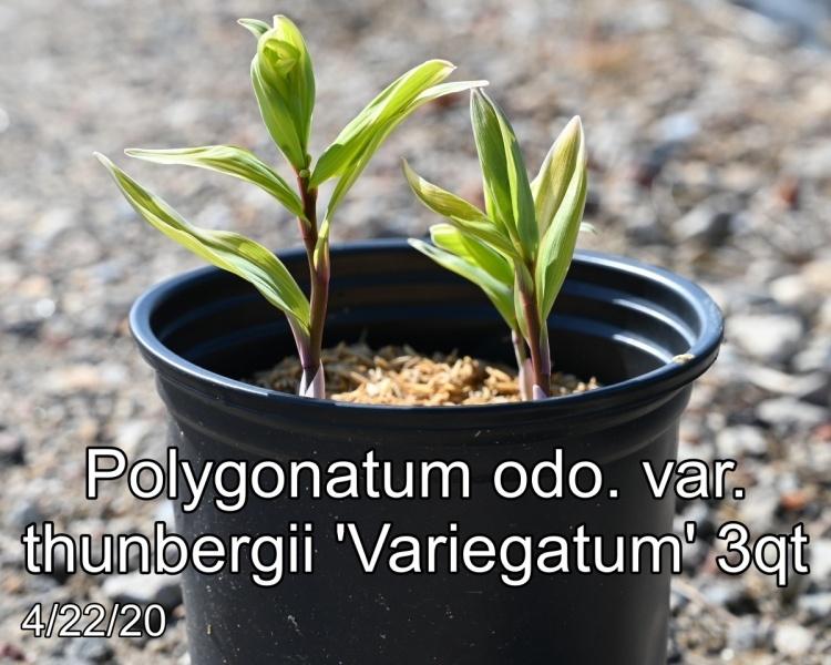 Polygonatum-odo.-var.-thunbergii-Variegatum-3qt