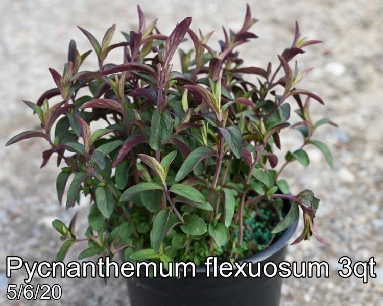 Pycnanthemum flexuosum 3qt