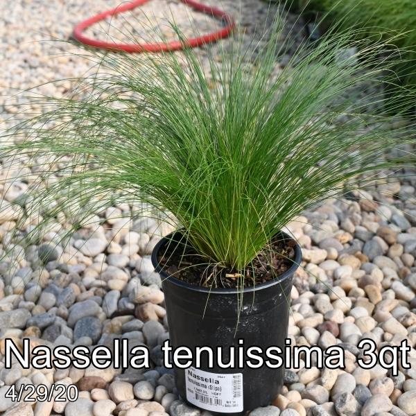 Nassella tenuissima 3qt