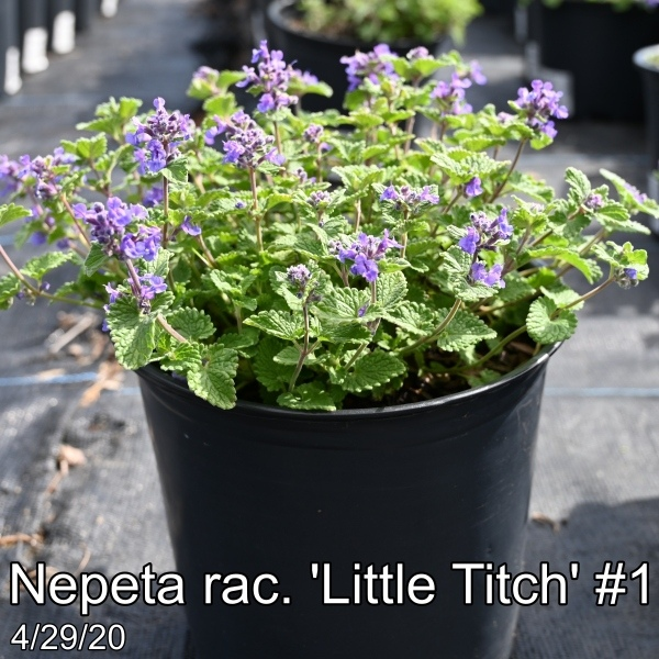 Nepeta-rac.-Little-Titch-1
