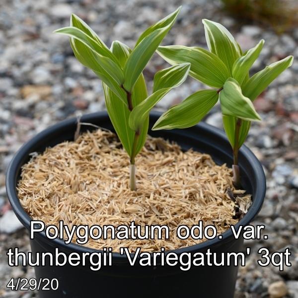 Polygonatum odo. var. thunbergii Variegatum 3qt