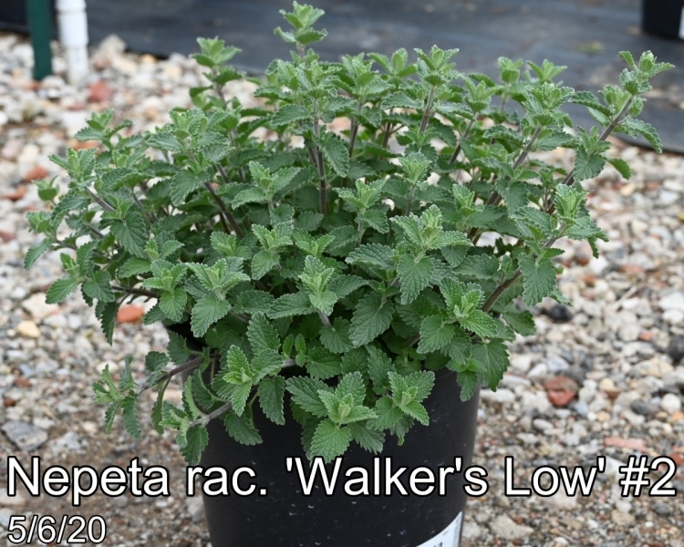 Nepeta rac. Walkers Low #2