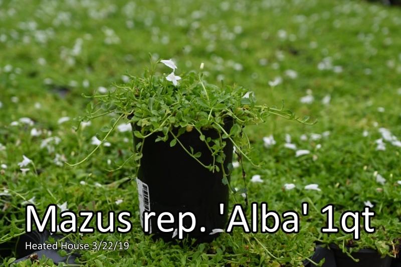 Mazus-rep.-Alba