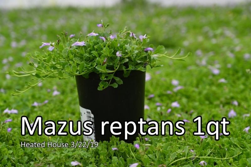 Mazus-reptans
