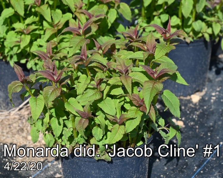 Monarda did. Jacob Cline #1