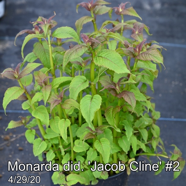 Monarda did. Jacob Cline #2