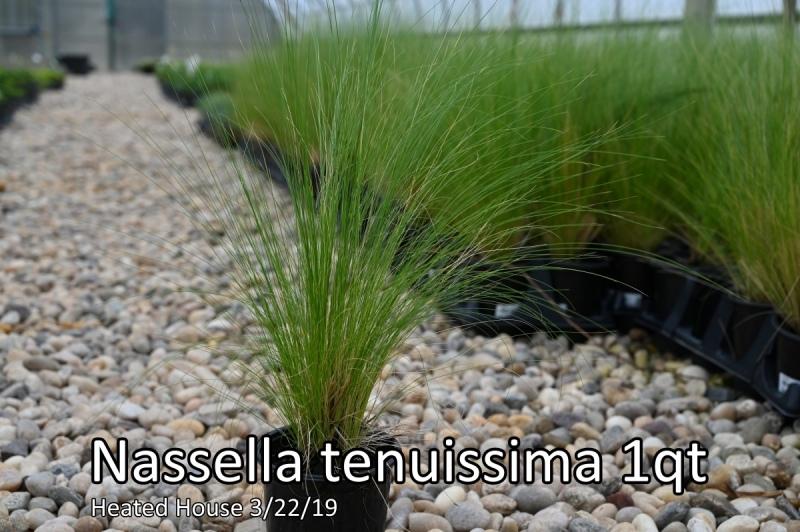 Nassella-tenuissima-1qt