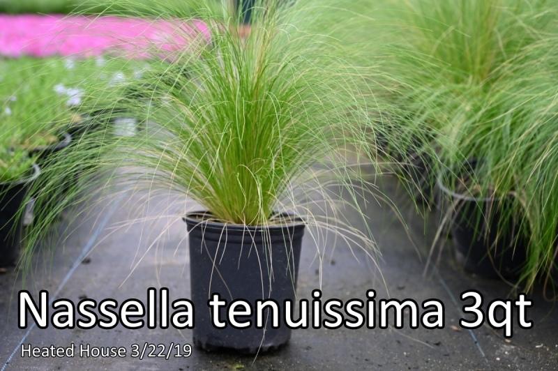 Nassella-tenuissima-3qt