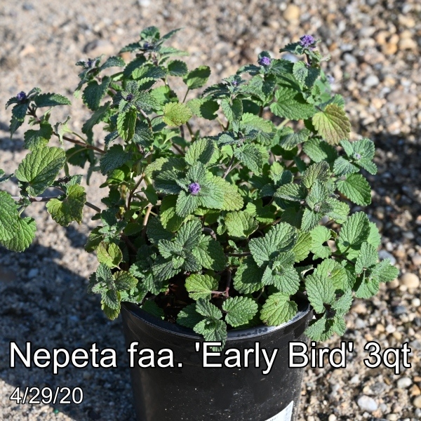 Nepeta faa. Early Bird 3qt