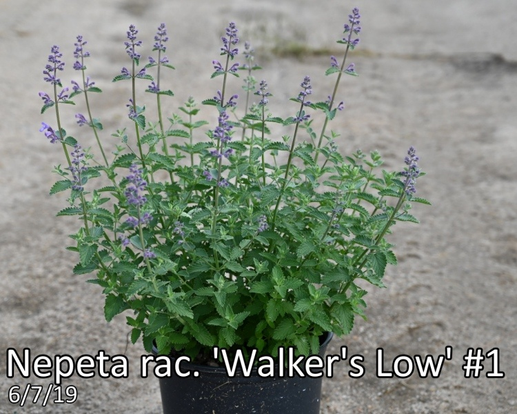 Nepeta-rac.-Walkers-Low