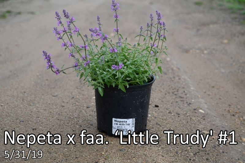 Nepeta-x-faa.-'Little-Trudy