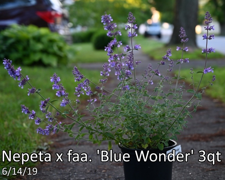 Nepeta-x-faa.-Blue-Wonder