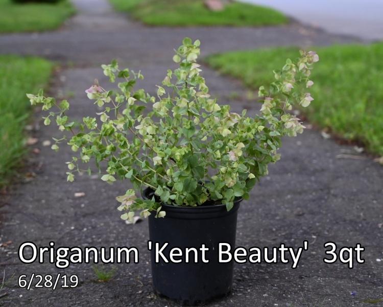 Origanum-Kent-Beauty